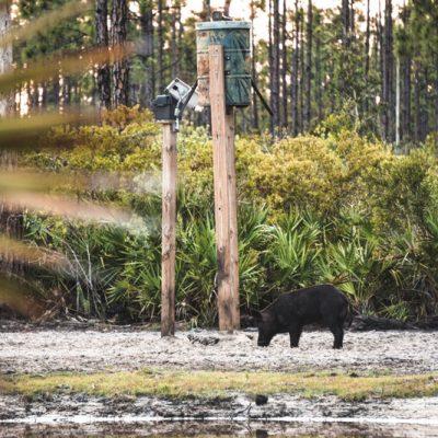 preserve hog hunting over bait